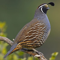 Information About Quail